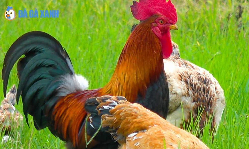 Tham gia cá cược tại trang mạng đá gà trực tuyến SV388